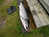 Salmon (Atlantic) 19lb