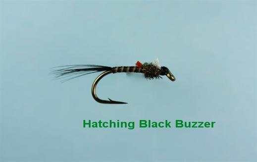 Hatching Black Buzzer
