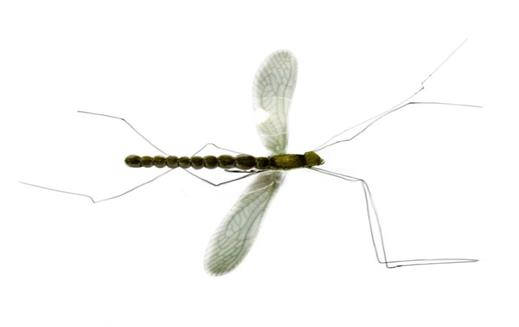 Real Mayfly